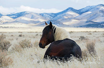 Photograph - Resting Band Stallion by Nicole Markmann Nelson