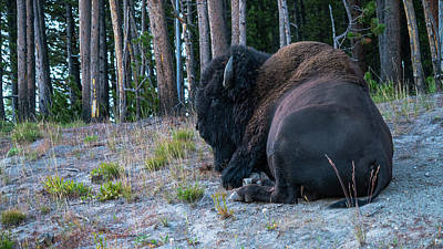 Photograph - Resting Bison Yellowstone National Park by Lawrence S Richardson Jr