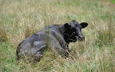 Photograph - Resting Black Angus by Maria Urso