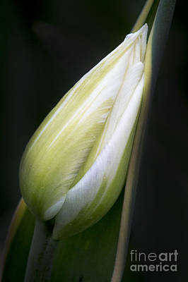 Photograph - Resting Bud by Sonya Lang