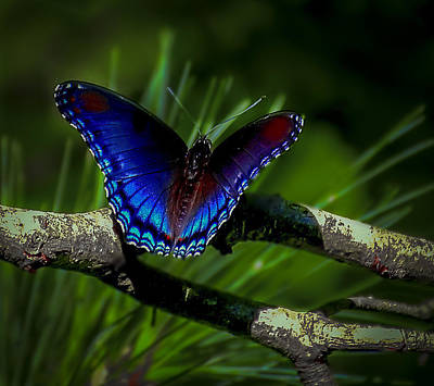 Photograph - Resting Butterfly by Francisco Gomez