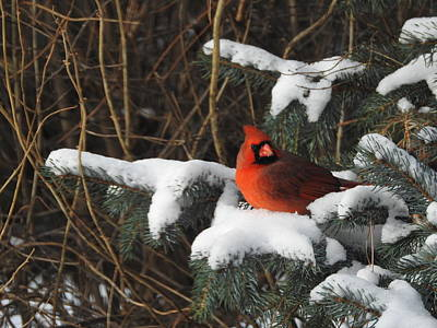 Photograph - Resting Cardinal by Betty-Anne McDonald
