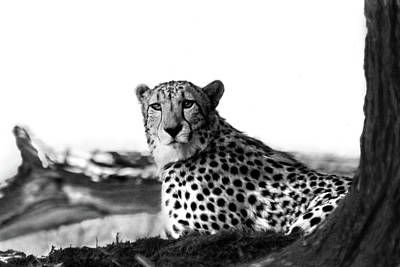 Photograph - Resting Cheetah B And W by Steve Karol