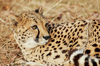 Photograph - Resting Cheetah, Close-up  by Nick Biemans