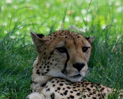 Photograph - Resting Cheetah Closeup by George Jones