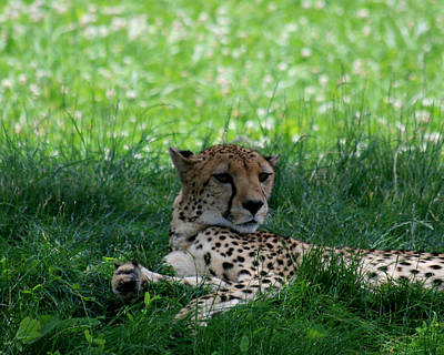 Photograph - Resting Cheetah by George Jones