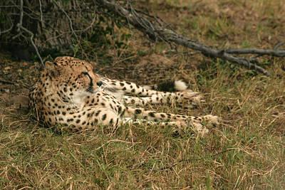 Photograph - Resting Cheetah by Karen Zuk Rosenblatt