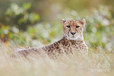 Photograph - Resting Cheetah by Nick Biemans