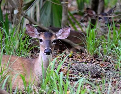 Photograph - Resting Deer by Sheri McLeroy