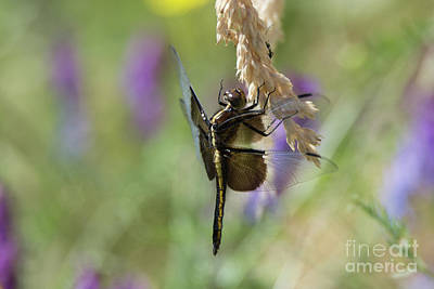 Photograph - Resting Dragonfly by Craig Leaper