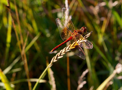 Photograph - Resting Dragonfly by Les Weber