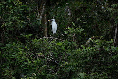 Photograph - Resting Egret by James David Phenicie