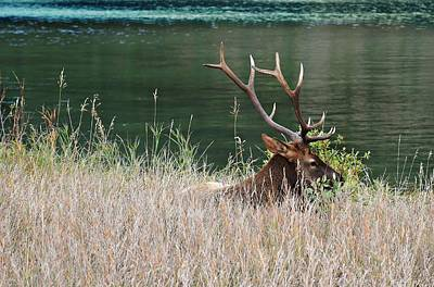 Photograph - Resting Elk by Shirley Sirois