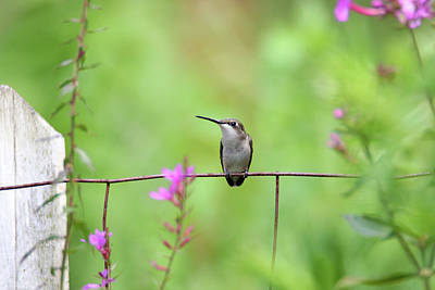 Photograph - Resting Female Hummingbird by Brook Burling