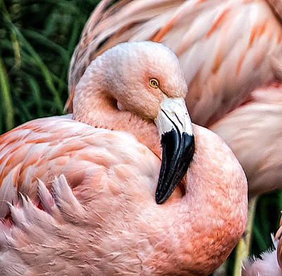 Photograph - Resting Flamingo by Mary Jo Allen