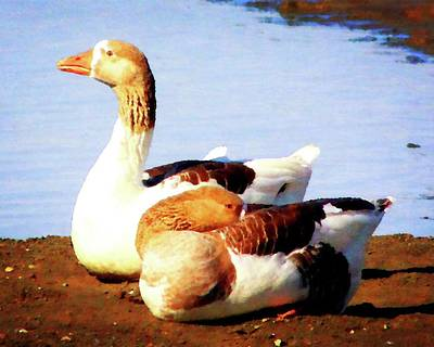 Photograph - Resting Geese by Timothy Bulone