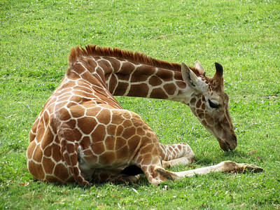 Photograph - Resting Giraffe by Laurel Powell