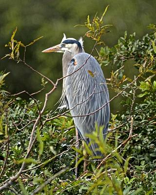 Photograph - Resting Great Blue Heron by Carol Bradley