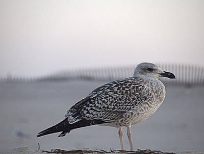 Photograph - Resting Gull by  Newwwman