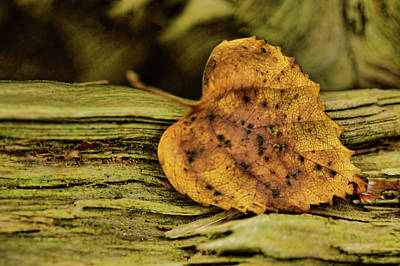 Photograph - Resting Heart Leaf by Mihaela Pater