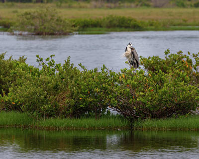 Photograph - Resting Heron by Les Greenwood