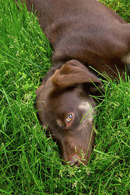 Lucky Dogs Wall Art - Photograph - Resting In The Grass by Karol Livote