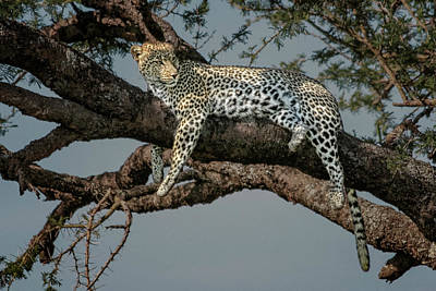 1-war Is Hell Royalty Free Images - Resting Leopard  5066 Royalty-Free Image by Karen Celella