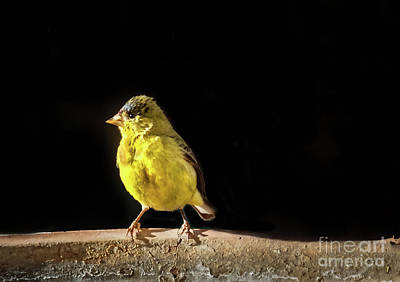Photograph - Resting Lesser Goldfinch by Robert Bales