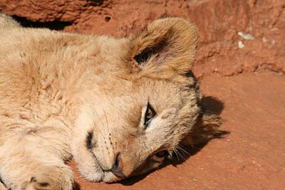 Resting Lion Cub Art Print by Benjamin Mitchell
