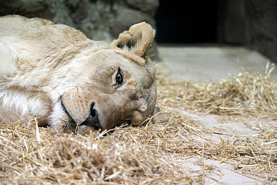 Photograph - Resting Lion by Greg Russell