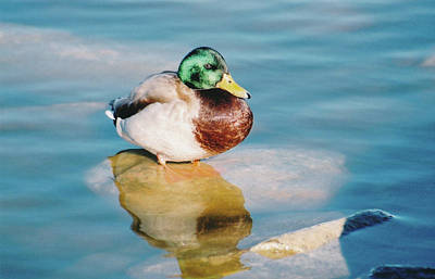 Photograph - Resting Mallard by Tom Potter