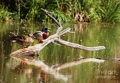 Photograph - Resting Mallards by Robert Bales