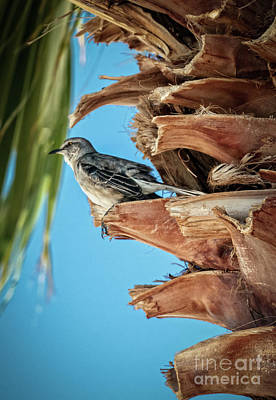 Photograph - Resting Mockingbird by Robert Bales