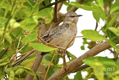 Photograph - Resting Northern Mockingbird by Robert Bales