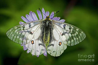 Photograph - Resting On A Mountain Aster by Sonya Lang