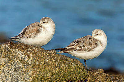 Photograph - Resting Plovers by Jonathan Nguyen