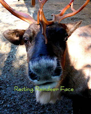 Photograph - Resting Reindeer Face by Katy Hawk