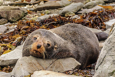 Photograph - Resting Seal by Werner Padarin
