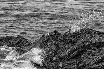 Photograph - Resting Seals Bw by Robert Hebert