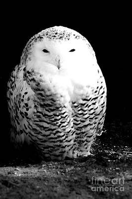 Thought Wild Photograph - Resting Snowy Owl by Darcy Michaelchuk