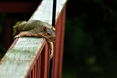 Photograph - Resting Squirrel by  Onyonet  Photo Studios