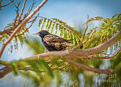 Photograph - Resting Starling by Robert Bales