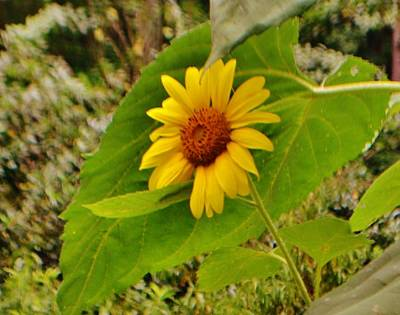Photograph - Resting Sunflower by Eileen Brymer