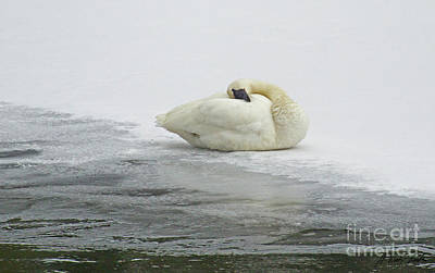 Photograph - Resting Swan-signed-#1314 by J L Woody Wooden