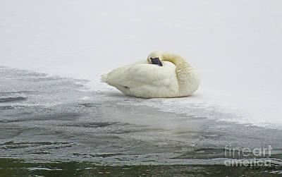 Resting Swan-signed-#1314 Art Print