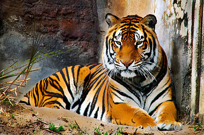 Photograph - Resting Tiger by Bibi Rojas