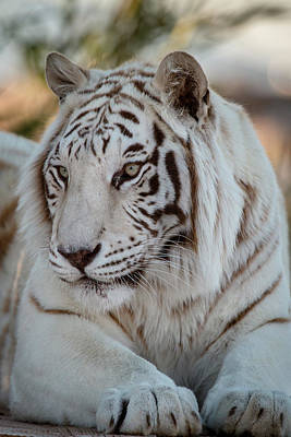 Photograph - Resting Tiger by Teresa Wilson