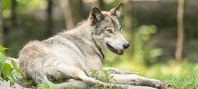 Photograph - Resting Timber Wolf by Josef Pittner