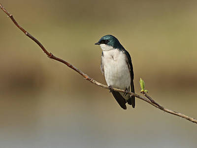 Photograph - Resting Tree Swallow by Inge Riis McDonald