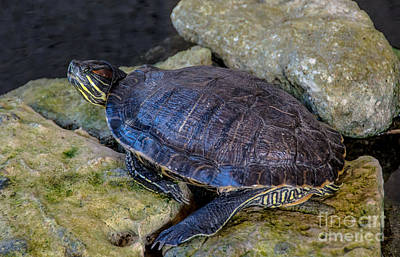 Photograph - Resting Turtle by Cheryl Baxter